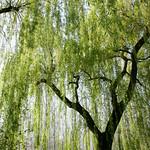 Claude Monet's Tree